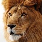 Lion Roars